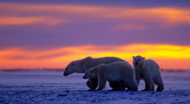 polar_bear_sunset.jpg