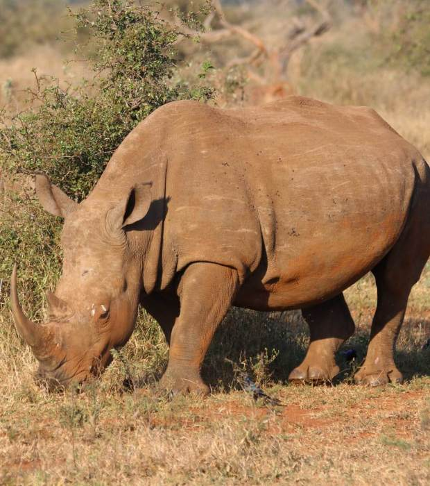 Globetrotters Travel and Tours Uganda Safaris rhino