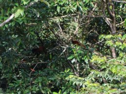 Brulapen Suriname