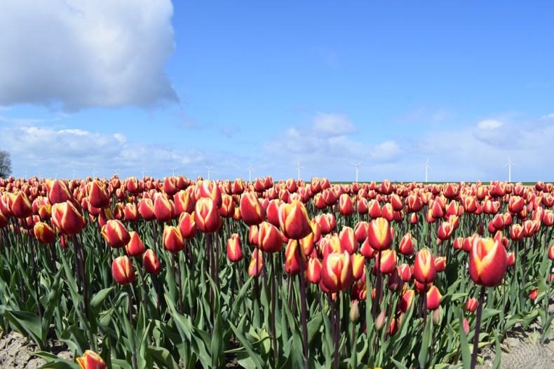Tulpenroute Dronten