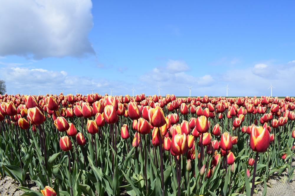 tulpenroute dronten tulpen tulpen en nog eens tulpen