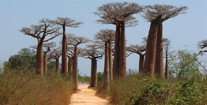 Resultado de imagen de 2.- La avenida de los Baobabs – Madagascar