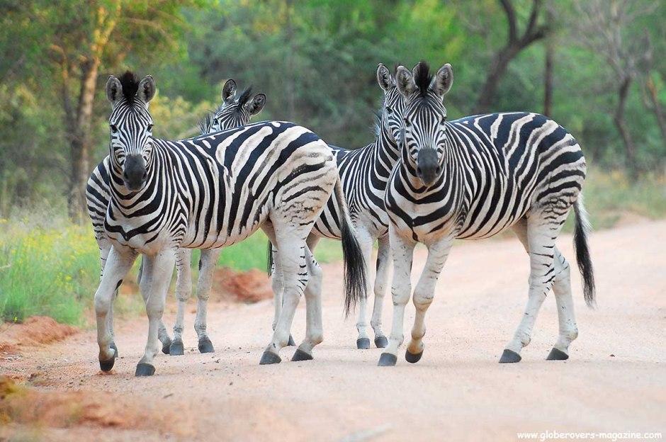 Zebras, Leeupoort, SOUTH AFRICA