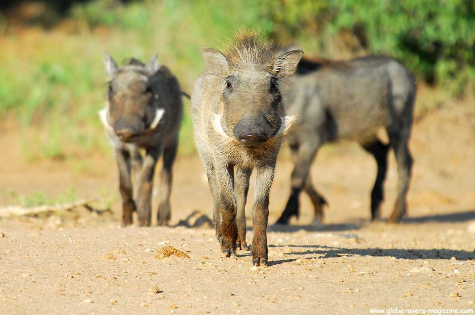 Warthogs, Leeupoort Private Reserve, SOUTH AFRICA