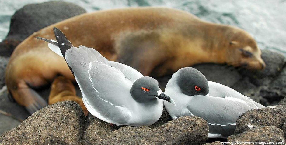 Swallow-tailed Gull, Galapagos Islands, Ecuador