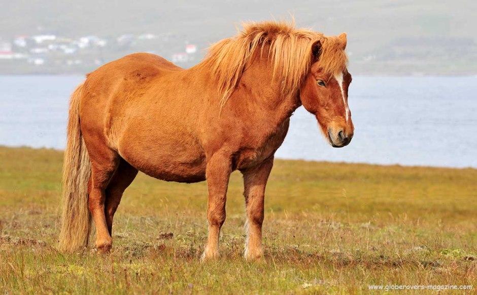 Icelandic Horses near Breiðdalsvík, Iceland