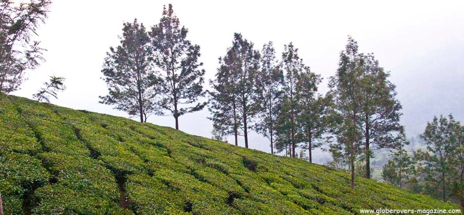 Hiking around the tea plantations of Munnar, Kerala, INDIA