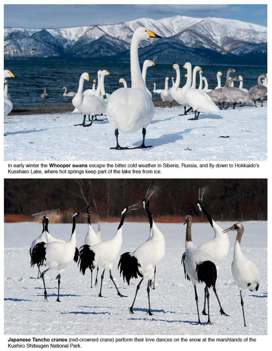 Japan's Hokkaido Tancho cranes and Whooper swans