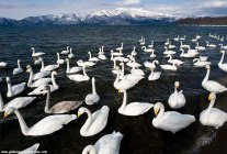 swans on a lake during winter in hokkaido, japan