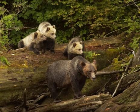 Knechtreisen-Kanada-Bären