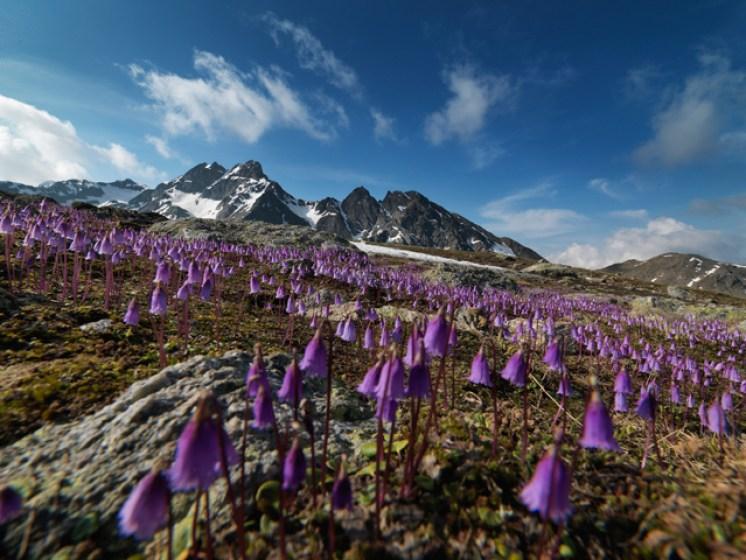Soldanellen am Lej Muragl – Oberengadin