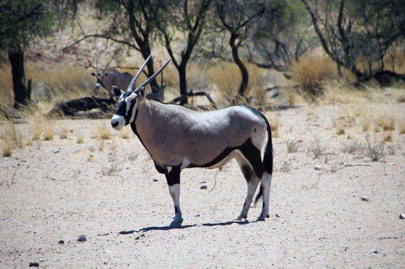 Namibia Puriy Antilope