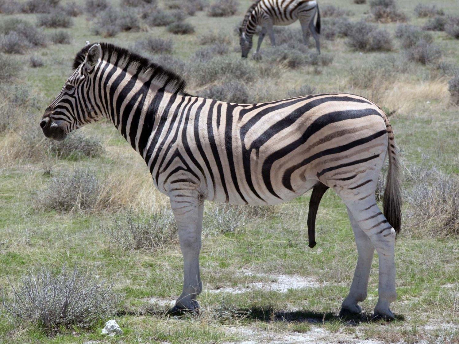 Namibia Puriy Zebra