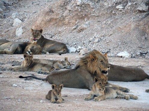 Namibia Puriy Löwen