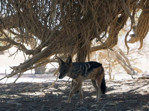 Namibia Puriy Schakal