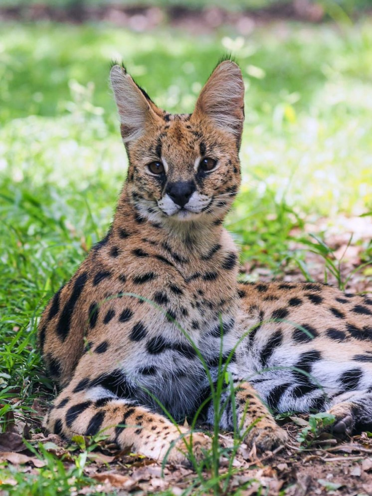 Südafrika Safari Nationalpark Serval