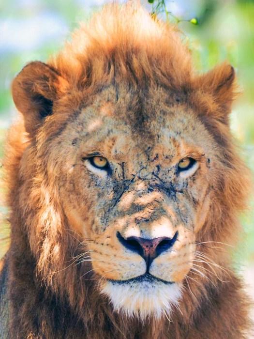 Südafrika Safari Nationalpark Löwe