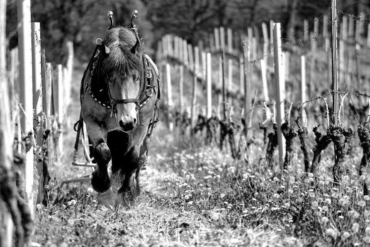 Weingut Gehrig - Ein PS Wein - Rebberg Pferd und Rainer Gehrig
