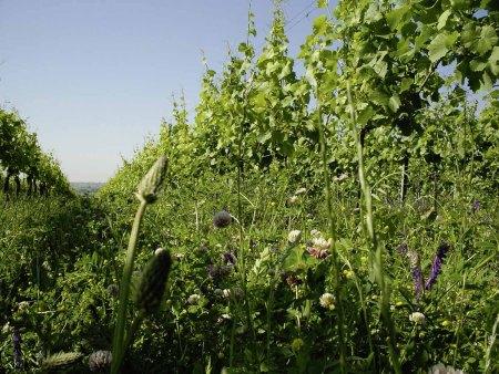 Weinstrasse - Biowinzer Heiner Sauer - Reben und Gras