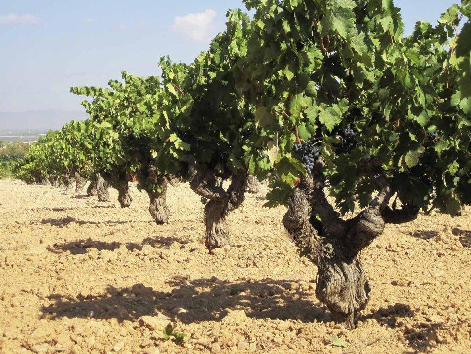 Weinstrasse - Biowinzer Heiner Sauer - Weingut Spanien Reben