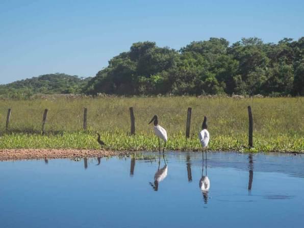 Vögel am Wasser im Pantanal