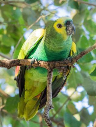 Ara im Pantanal