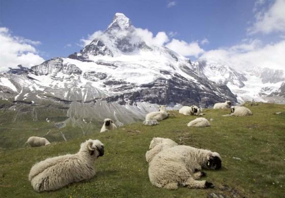 Eine Schafsweide mit Aussicht aufs Matterhorn