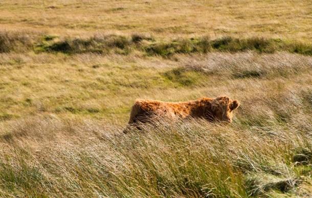 schottische-hochlandrinder