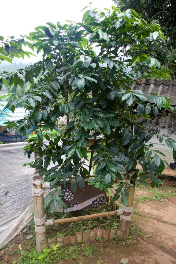 Chiang Mai Kaffee 03