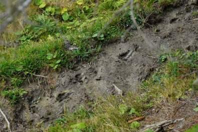 Hirschspuren im Wald. © Eva Hirschi