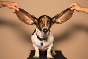 What Did You Say? Dog with Big Ears in the air