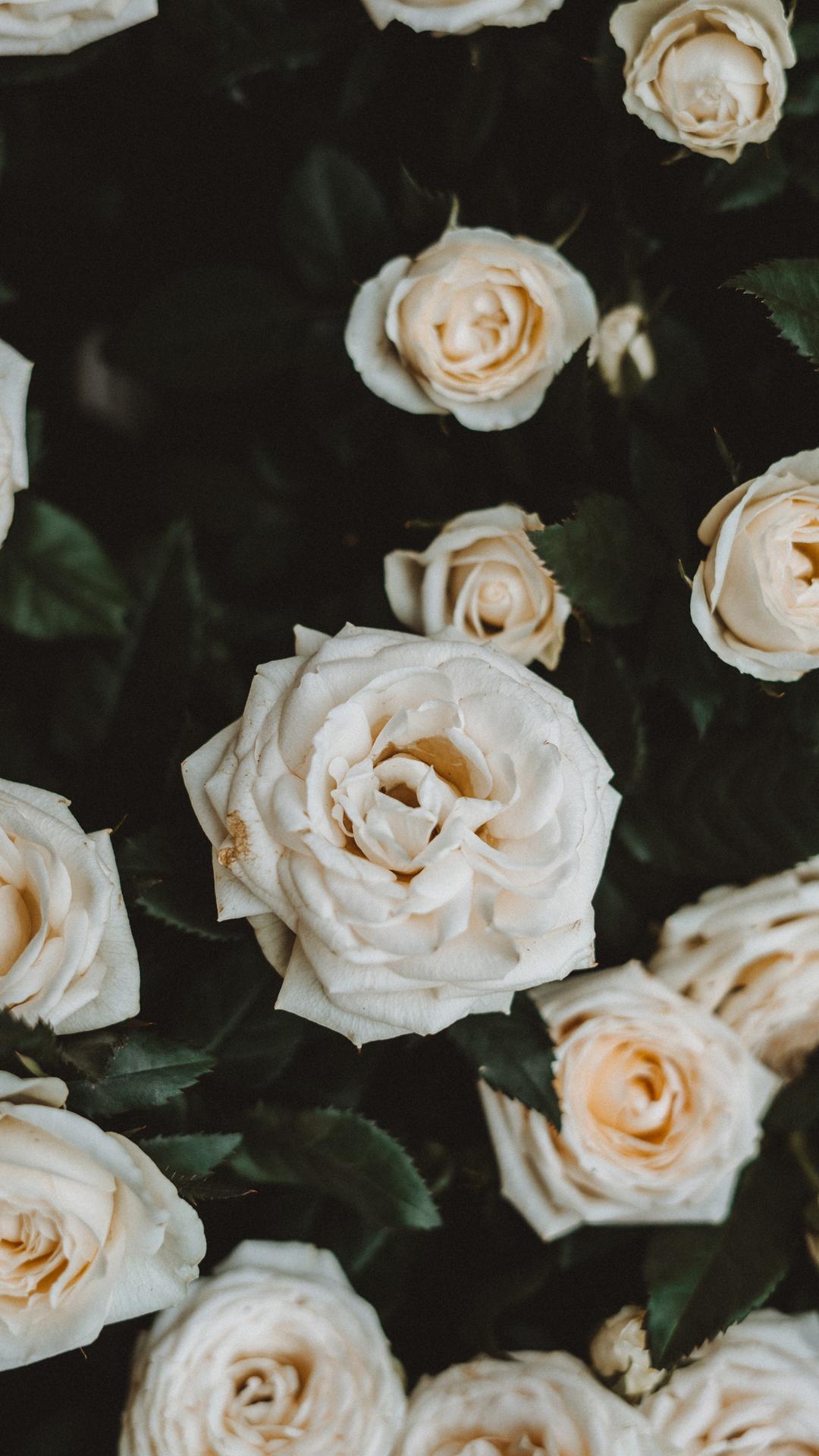 wild rose backgound