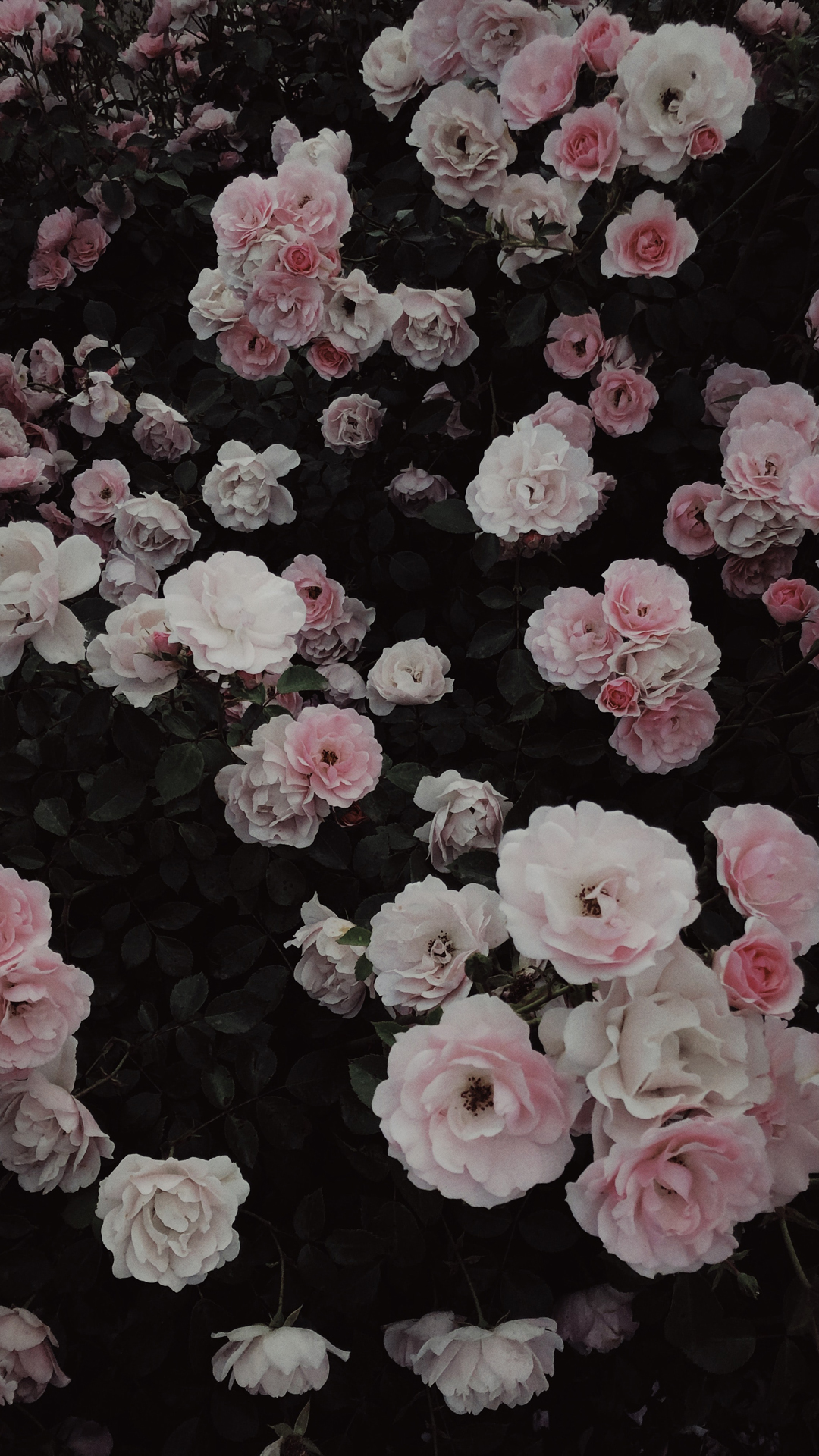 pink rose aesthetic wallpaper for iPhone