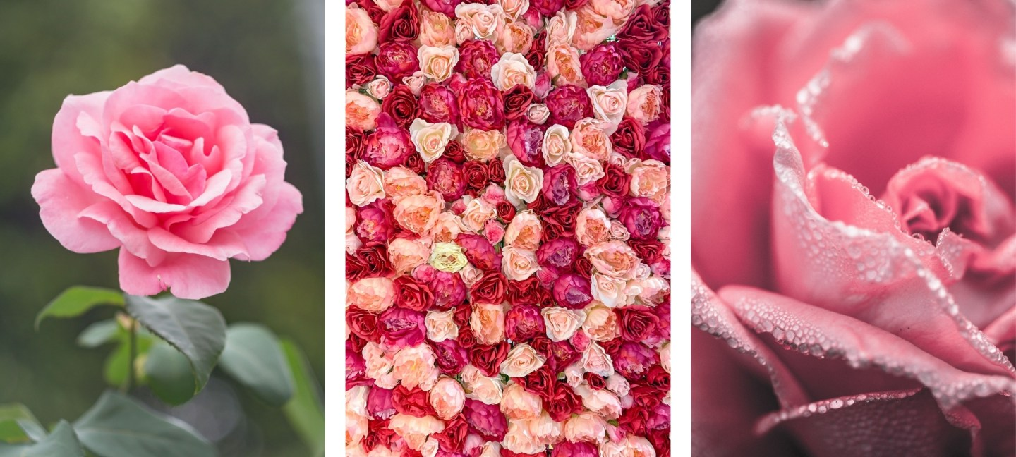 free HD rose wallpaper backgrounds for iPhone