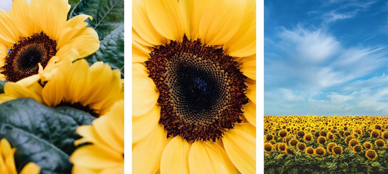cute sunflower wallpaper backgrounds