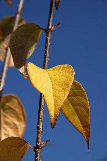 Ivory Silk Japanese Lilac Tree Glover Nursery