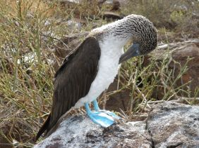 Galapagos booby bird