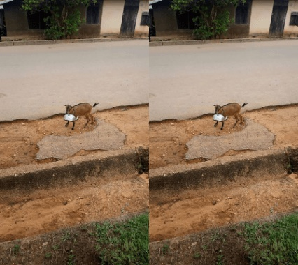 lol goat reportedly spotted with a kettle on its way to fetch water for its owner in cross river state horz - End Time! Goat Spotted On Its Way To Fetch Water For Owner In Cross River (Photo)