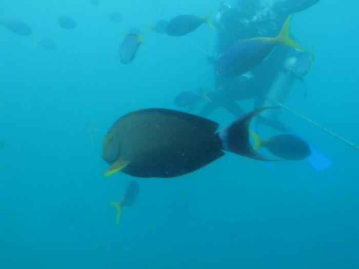 Great Barrier Reef, Doktorfische