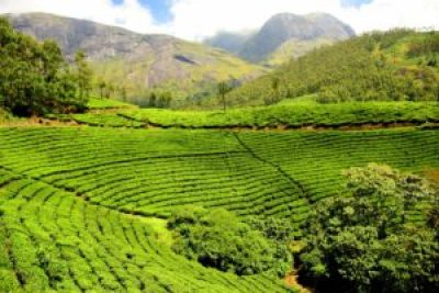tea-plantation-1751369_1920