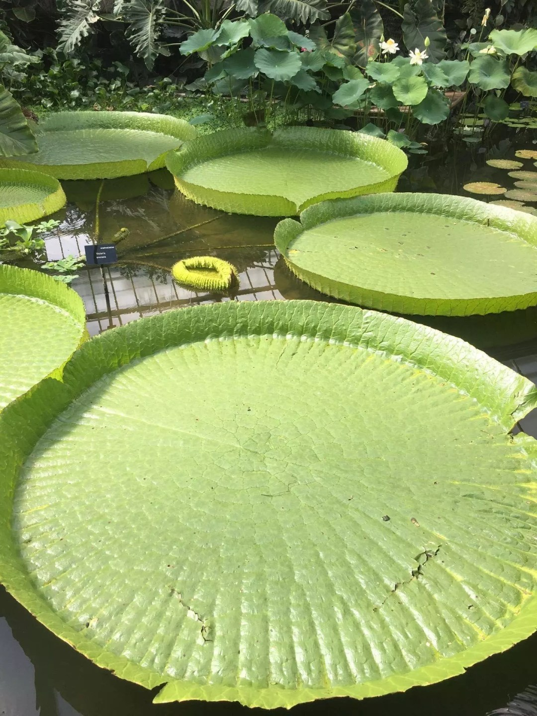 Kew Gardens lily pad