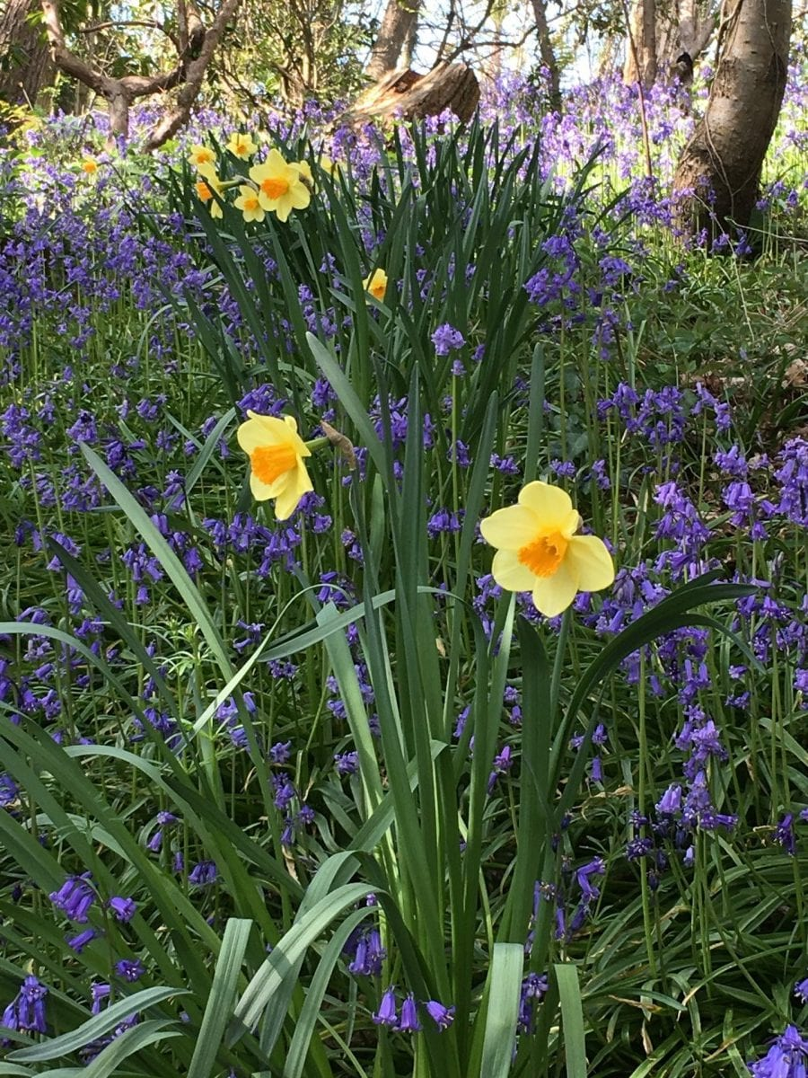 Bluebells at Robin Hill