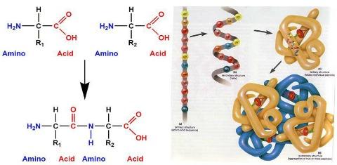 In forma splendente II parte proteine s proteine no