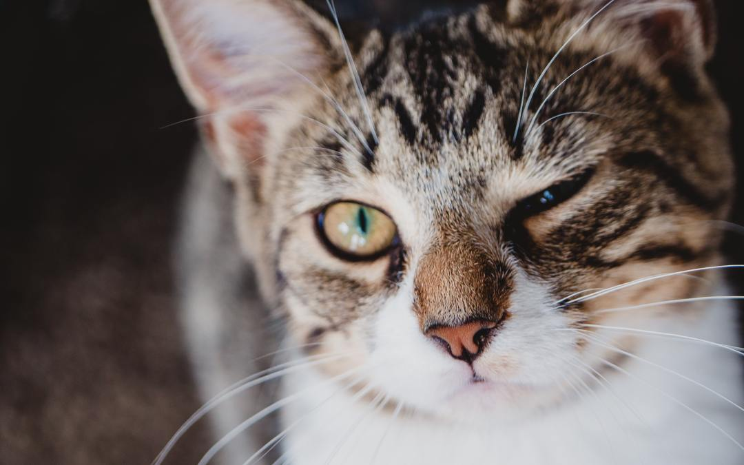Osteoarthritis in cats — can you give GLX3 to a cat?