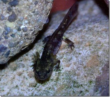 680px-Salamander_larve