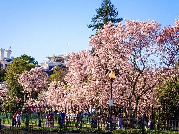 dc's cherry blossom festival