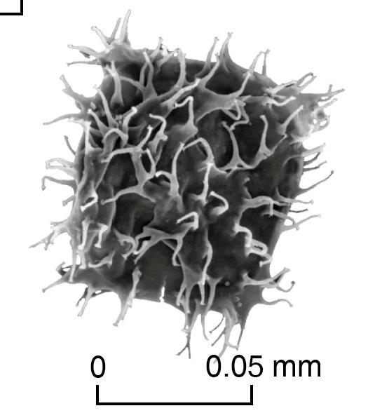 Earliest Miocene dinoflagellate