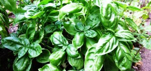 Basil-Basilico-Ocimum_basilicum-albahaca