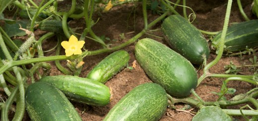 Health benefit of cucumber