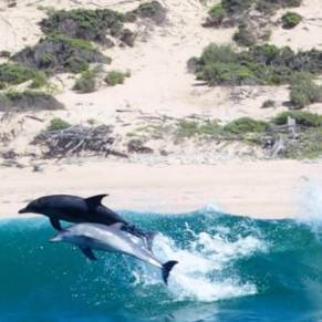 2 dolphins jumping out of a wave